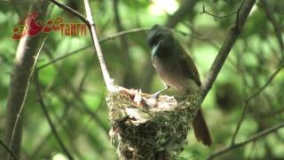 Райская мухоловка Paradise Flycatcher (HD) райская  мухоловка  230х700 черная райская мухоловка