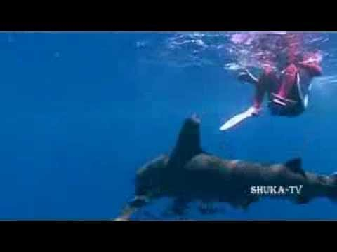 Shark attacks in the red sea. Атаки Акул на людей red sea shark шарк атака на людей
